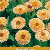 Calendula officinalis 'Apricot Delight'
