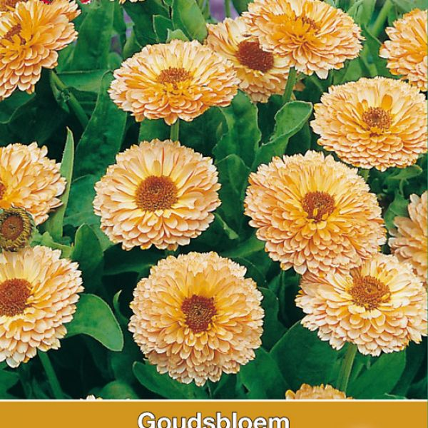 Calendula officinalis 'Apricot Delight'