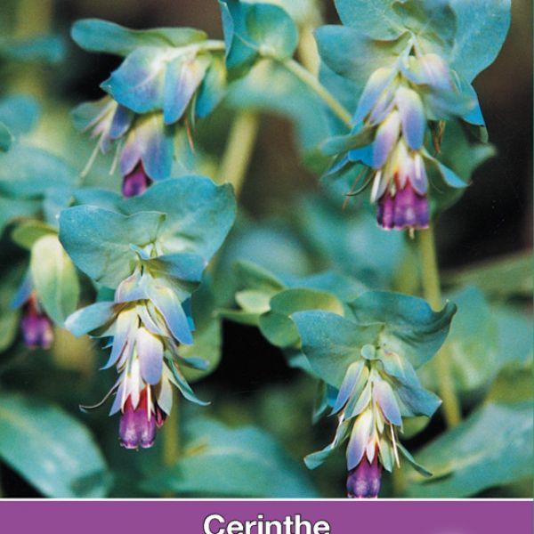 Cerinthe major Purpurescens 'Kiwi Blue'