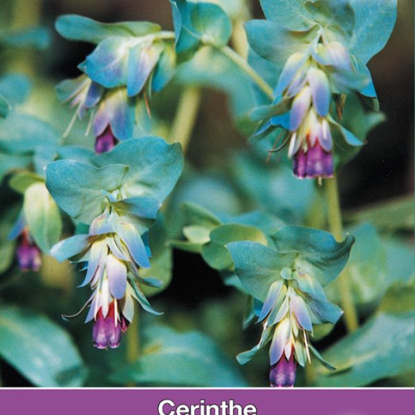 Cerinthe major Purpurescens 'Kiwi Blue'