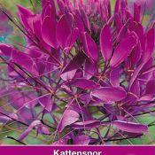 Cleome hassleriana 'Violet Queen'