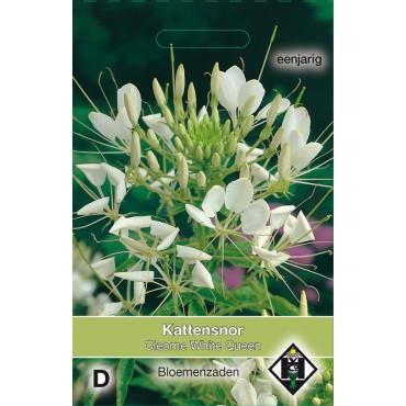 Cleome hassleriana 'White Queen'