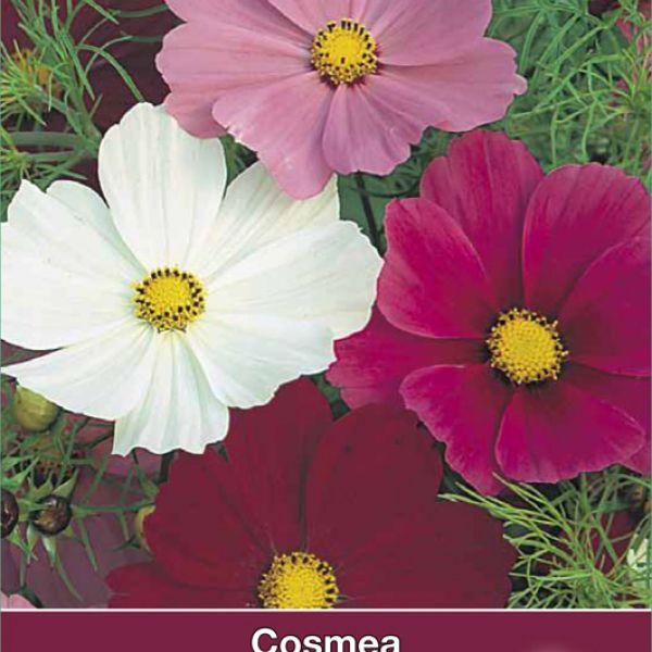 Cosmos bipinnatus 'Sensation'