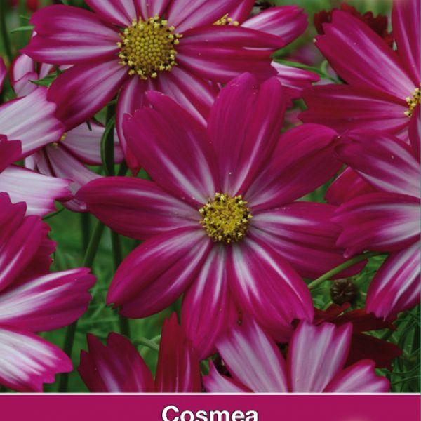 Cosmos bipinnatus 'Cosimo Red-White'