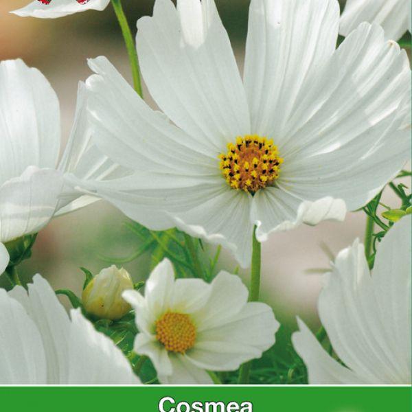 Cosmos bipinnatus 'Vega wit'