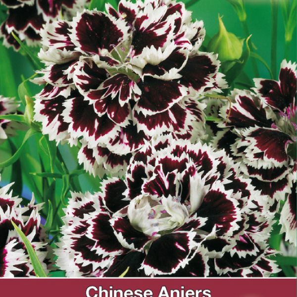 Dianthus chinensis 'Chianti'