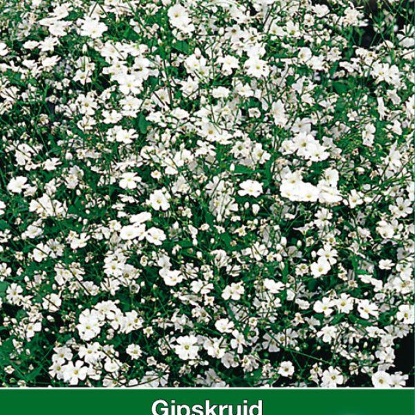 Gypsophila elegans 'Convent Garden'
