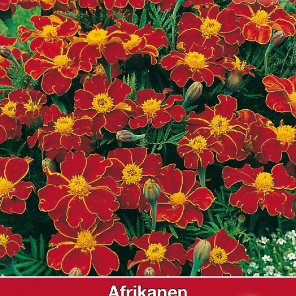 Tagetes patula nana 'Favorite Red'