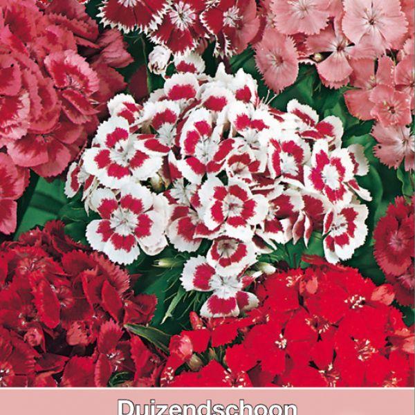 Dianthus barbatus 'Florist Mengsel'