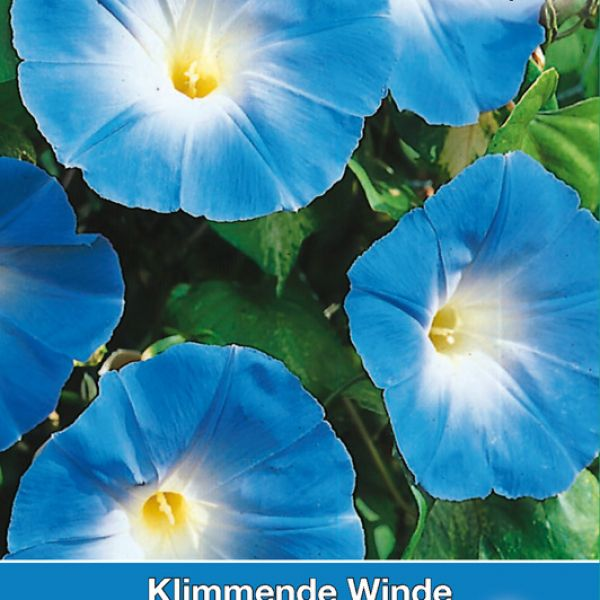 Ipomoea tricolor 'Heavenly Blue'