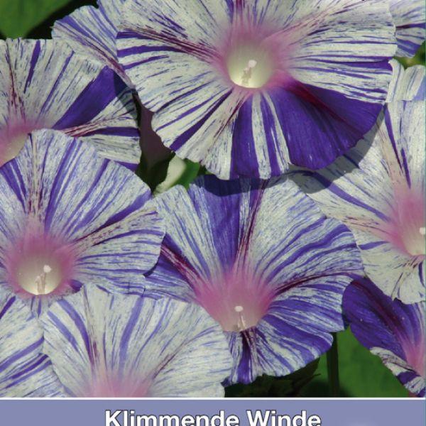 Ipomoea purpurea 'Venice Blue'