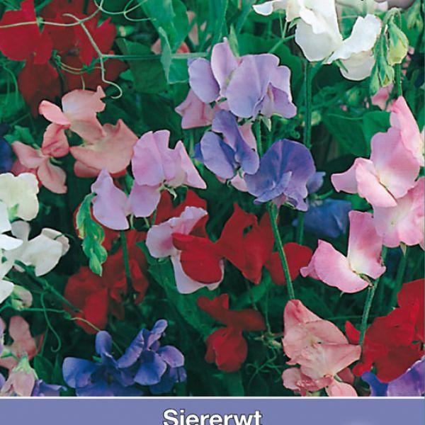 Lathyrus odoratus 'Spencer Mix'