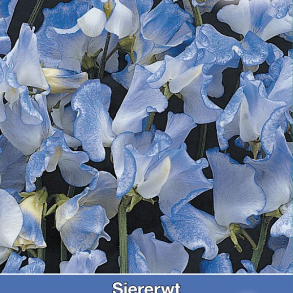 Lathyrus o. 'Blue Ripple'