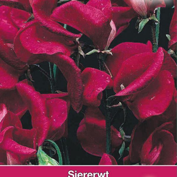 Lathyrus o. 'Zorjia Rose'