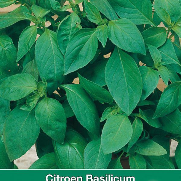 Citroen Basilicum / Ocimum basilicum 'Mrs. Burns'