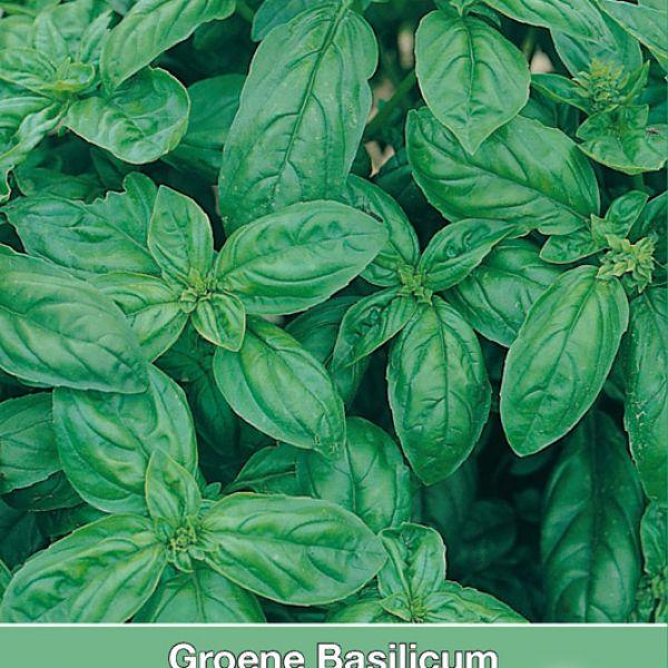 Groene basilicum / Ocimum basilicum 'Genovese'