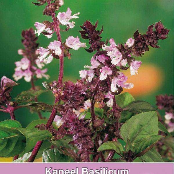 Kaneel Basilicum / Ocimum basilicum ´Cinamonette´