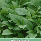 Thaise Basilicum / Ocimum basilicum 'Siam Queen'