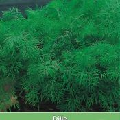 Dille / Anethum graveolens