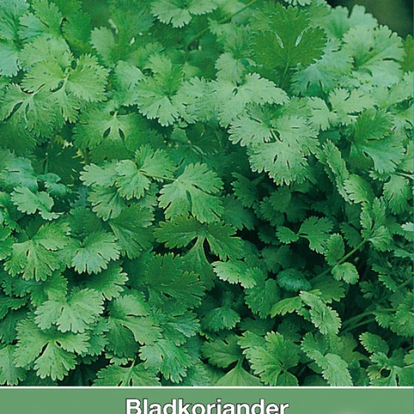 Bladkoriander / Coriandrum sativum