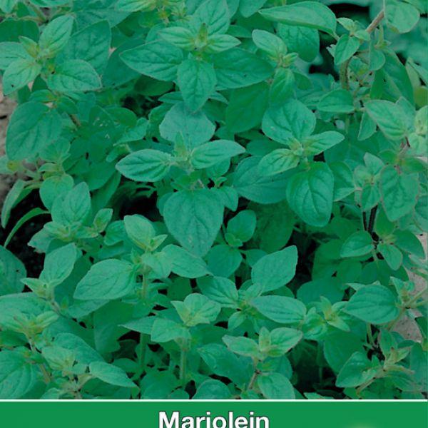 Marjolein / Origanum majorana
