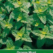 Groene Munt / Mentha spicata