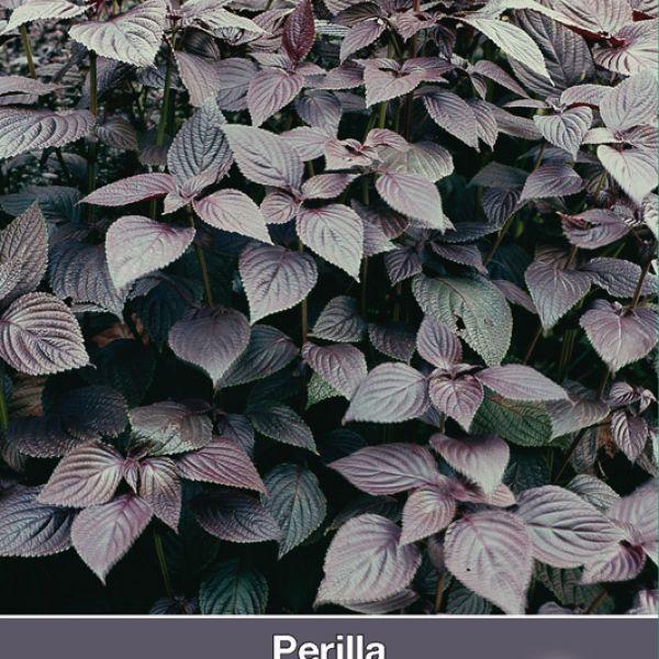 Perilla nankinensis 'Atropurpurea Laciniata'