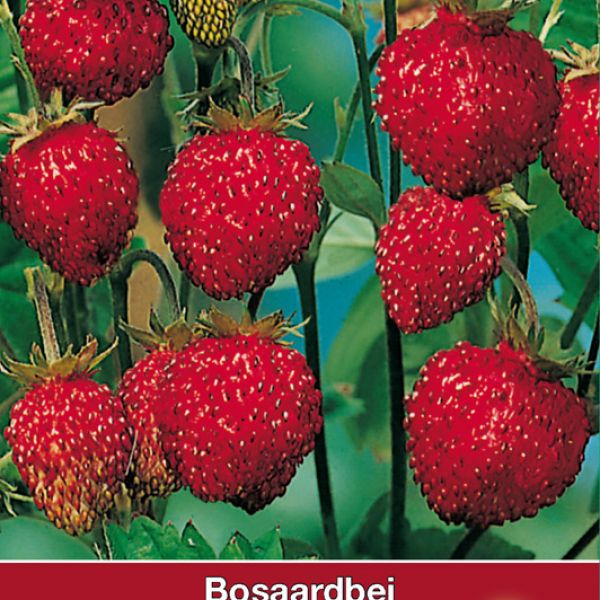 Bosaardbei, Fragaria vesca 'Mignonnette'