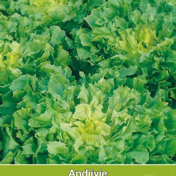 Andijvie, Cichorium endivia 'Breedblad Volhart Winter'