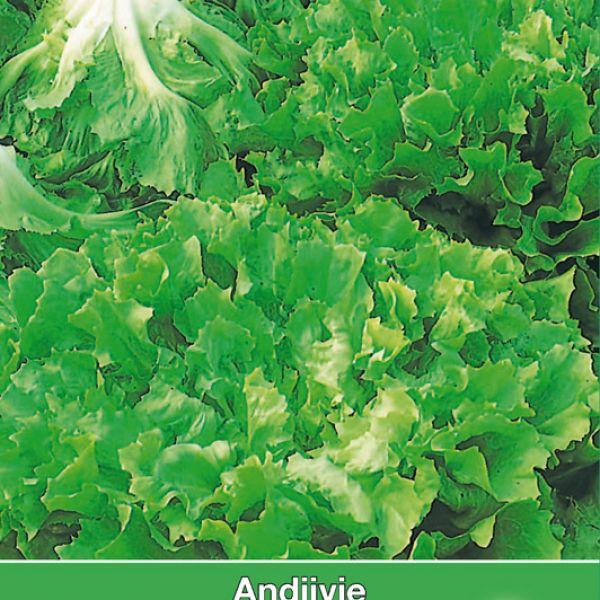 Andijvie, Cichorium endivia 'Nummer Vijf 2'