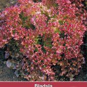 Bladsla Lollo Rossa, Lactuca sativa
