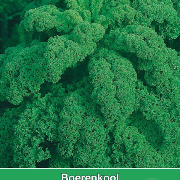 Boerenkool, Brassica oleracea sabellica 'Reflex F1'