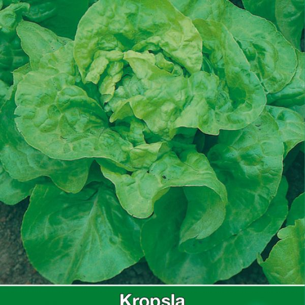 Kropsla, Lactuca sativa 'Meikoningin'