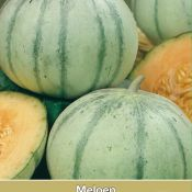 Meloen, Cucumis melo 'Rubens F1'