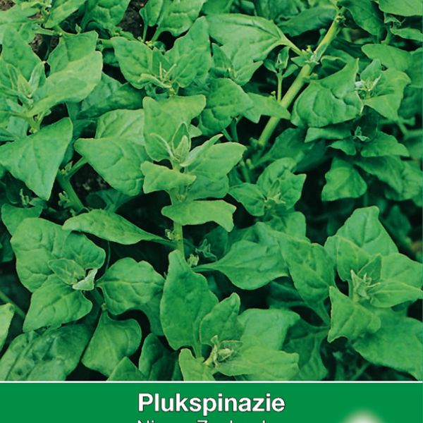 Plukspinazie, Tetragonia expansa 'Nieuw Zeelandse'