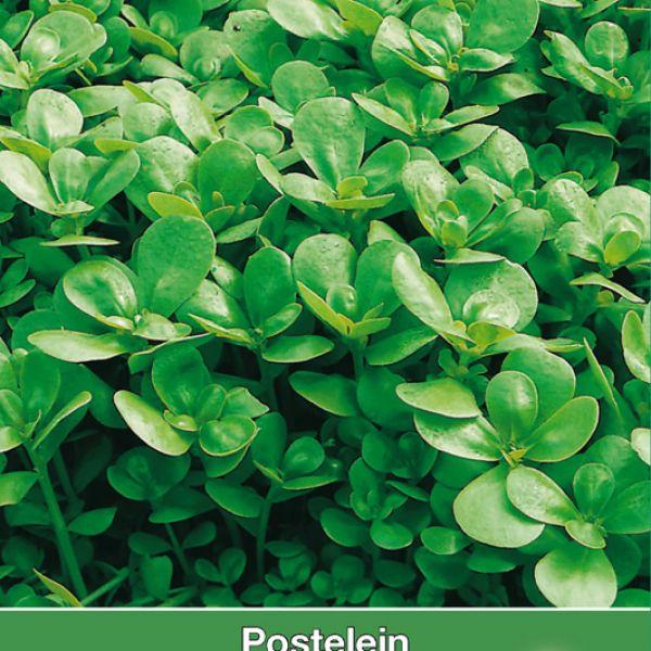 Postelein, Portulaca oleracea 'Gewone Groene'