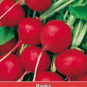 Radijs, Raphanus sativus 'Saxa'