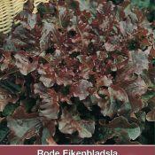 Rode Eikenbladsla, Lactuca sativa