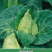 Spitskool, Brassica oleracea alba 'Cape Horn F1'