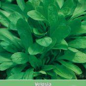 Veldsla, Valerianella locusta 'Grote Noordhollandse'