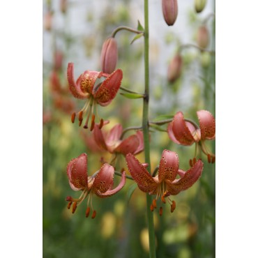 Lilium 'Manitoba Morning'