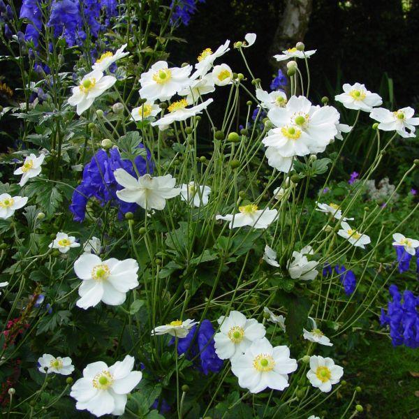 Anemone hybrida 'Honorone Jobert'
