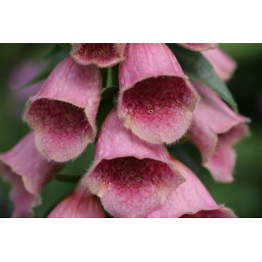 Digitalis 'Mertonensis'