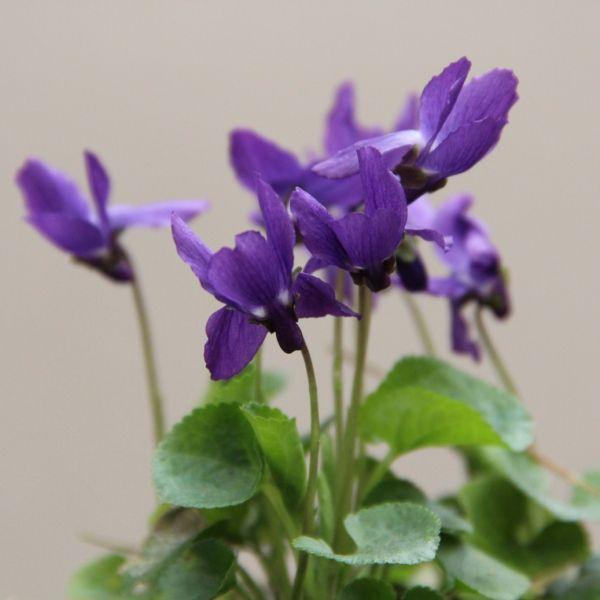Viola odorata 'Miracle Blue'