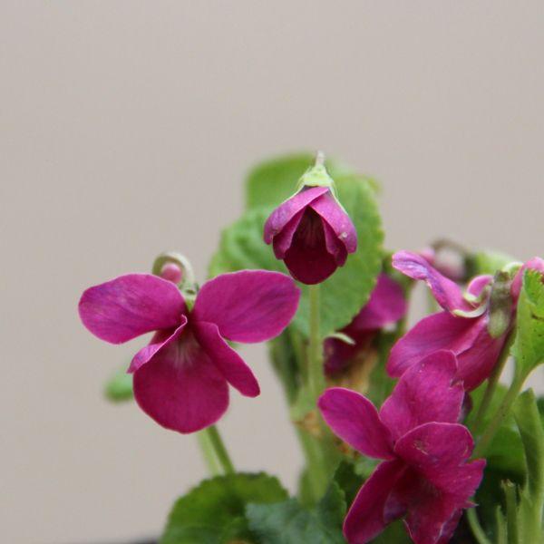 Viola odorata 'Miracle Red'