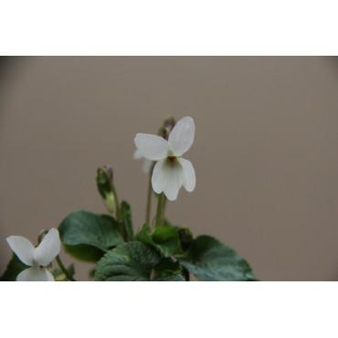 Viola odorata 'Miracle White'