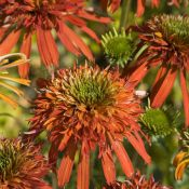 Echinacea 'Summer Salsa'