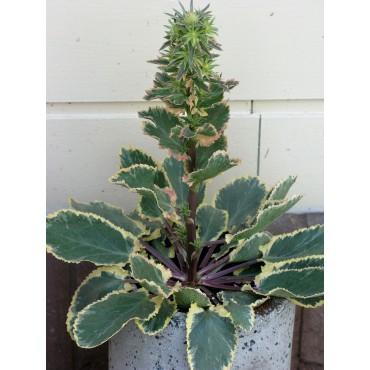 Erynchium 'Jade Frost'