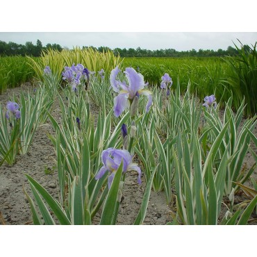 Iris pallida ´Variegata´