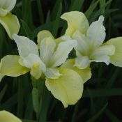 Iris siberica ´Butter and Sugar´